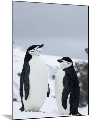 Chinstrap Penguins (Pygoscelis Antarcticus), Half Moon Island, Antarctic Peninsula, Weddell Sea-Thorsten Milse-Mounted Photographic Print