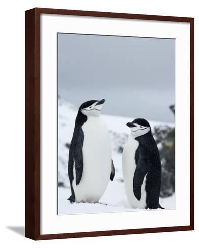 Chinstrap Penguins (Pygoscelis Antarcticus), Half Moon Island, Antarctic Peninsula, Weddell Sea-Thorsten Milse-Framed Art Print