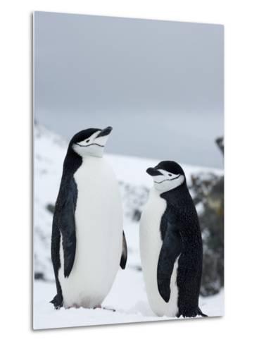 Chinstrap Penguins (Pygoscelis Antarcticus), Half Moon Island, Antarctic Peninsula, Weddell Sea-Thorsten Milse-Metal Print