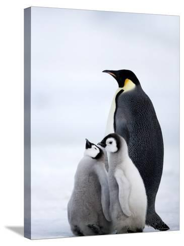 Emperor Penguin (Aptenodytes Forsteri) and Chicks, Snow Hill Island, Weddell Sea, Antarctica-Thorsten Milse-Stretched Canvas Print