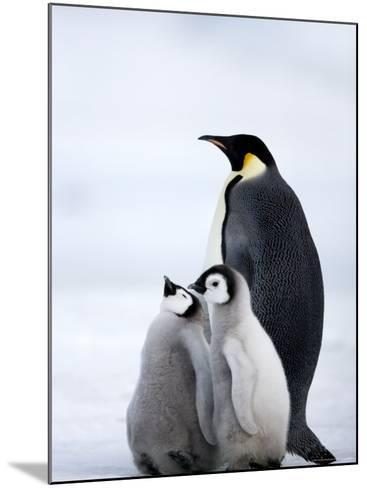 Emperor Penguin (Aptenodytes Forsteri) and Chicks, Snow Hill Island, Weddell Sea, Antarctica-Thorsten Milse-Mounted Photographic Print