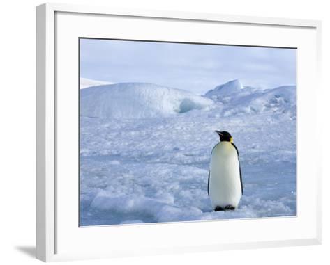 Emperor Penguin (Aptenodytes Forsteri), Snow Hill Island, Weddell Sea, Antarctica, Polar Regions-Thorsten Milse-Framed Art Print