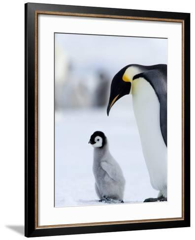 Emperor Penguin (Aptenodytes Forsteri) and Chick, Snow Hill Island, Weddell Sea, Antarctica-Thorsten Milse-Framed Art Print