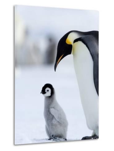 Emperor Penguin (Aptenodytes Forsteri) and Chick, Snow Hill Island, Weddell Sea, Antarctica-Thorsten Milse-Metal Print