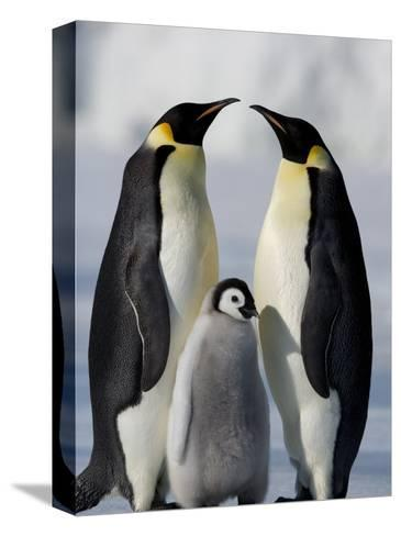 Emperor Penguins (Aptenodytes Forsteri) and Chick, Snow Hill Island, Weddell Sea, Antarctica-Thorsten Milse-Stretched Canvas Print