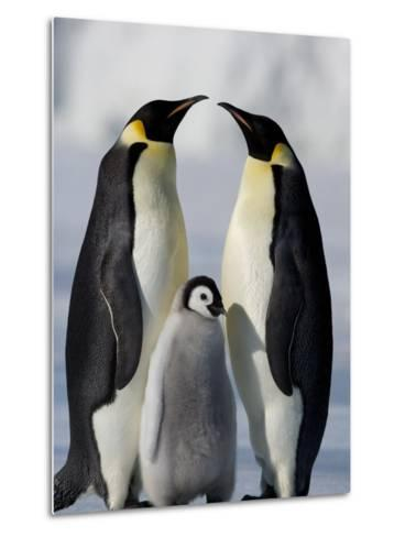 Emperor Penguins (Aptenodytes Forsteri) and Chick, Snow Hill Island, Weddell Sea, Antarctica-Thorsten Milse-Metal Print