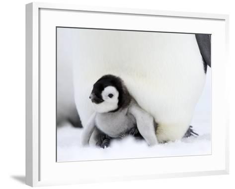 Emperor Penguin Chick (Aptenodytes Forsteri), Snow Hill Island, Weddell Sea, Antarctica-Thorsten Milse-Framed Art Print