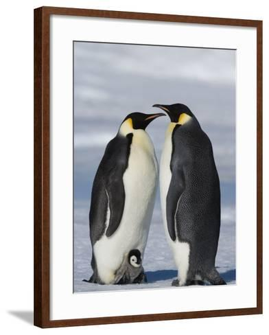 Emperor Penguins (Aptenodytes Forsteri) and Chick, Snow Hill Island, Weddell Sea, Antarctica-Thorsten Milse-Framed Art Print