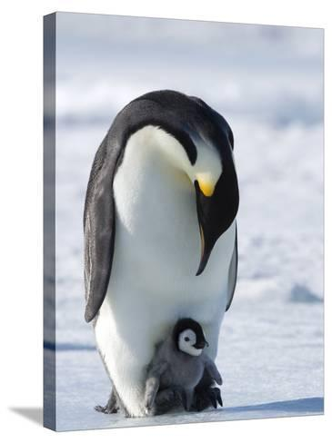 Emperor Penguin (Aptenodytes Forsteri) and Chick, Snow Hill Island, Weddell Sea, Antarctica-Thorsten Milse-Stretched Canvas Print