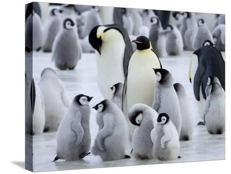 Colony of Emperor Penguins and Chicks, Snow Hill Island, Weddell Sea, Antarctica-Thorsten Milse-Stretched Canvas Print