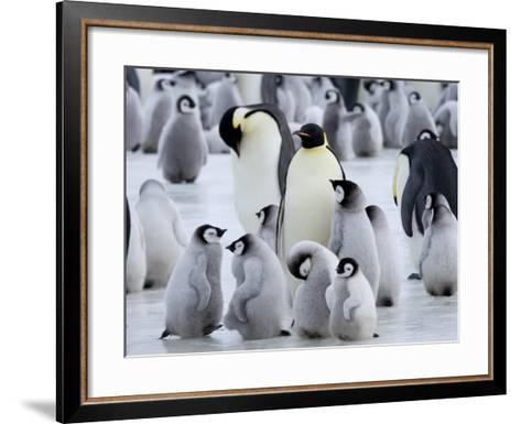 Colony of Emperor Penguins and Chicks, Snow Hill Island, Weddell Sea, Antarctica-Thorsten Milse-Framed Art Print