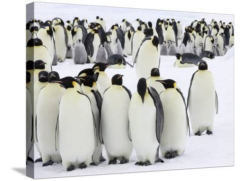 Colony of Emperor Penguins (Aptenodytes Forsteri), Snow Hill Island, Weddell Sea, Antarctica-Thorsten Milse-Stretched Canvas Print