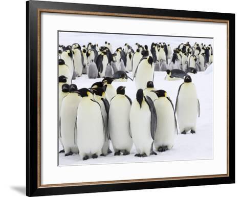 Colony of Emperor Penguins (Aptenodytes Forsteri), Snow Hill Island, Weddell Sea, Antarctica-Thorsten Milse-Framed Art Print