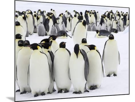 Colony of Emperor Penguins (Aptenodytes Forsteri), Snow Hill Island, Weddell Sea, Antarctica-Thorsten Milse-Mounted Photographic Print