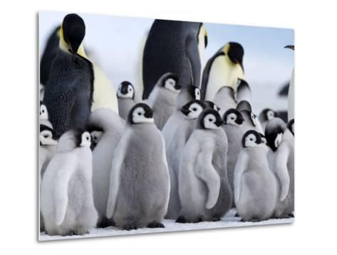 Colony of Emperor Penguins and Chicks, Snow Hill Island, Weddell Sea, Antarctica-Thorsten Milse-Metal Print