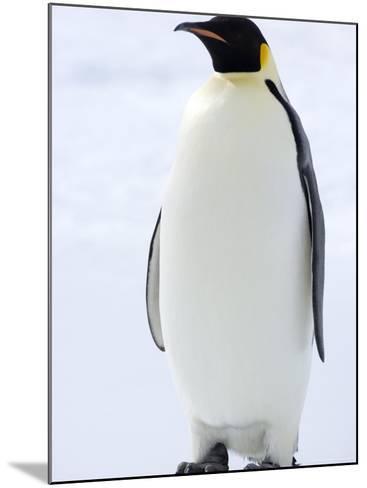 Emperor Penguin (Aptenodytes Forsteri), Snow Hill Island, Weddell Sea, Antarctica, Polar Regions-Thorsten Milse-Mounted Photographic Print
