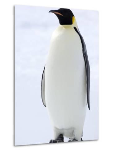 Emperor Penguin (Aptenodytes Forsteri), Snow Hill Island, Weddell Sea, Antarctica, Polar Regions-Thorsten Milse-Metal Print