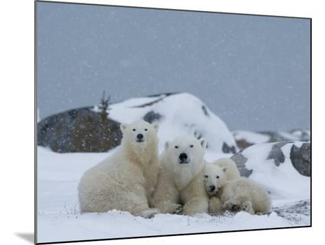Polar Bears (Ursus Maritimus), Churchill, Hudson Bay, Manitoba, Canada-Thorsten Milse-Mounted Photographic Print