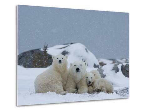 Polar Bears (Ursus Maritimus), Churchill, Hudson Bay, Manitoba, Canada-Thorsten Milse-Metal Print