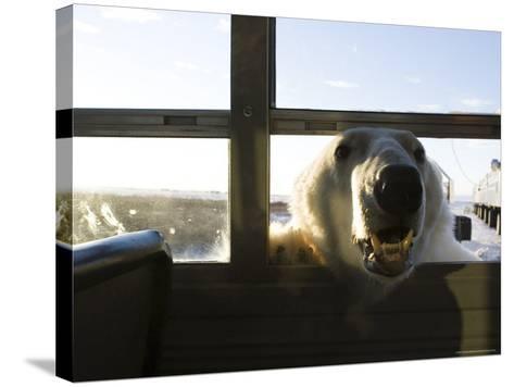 Polar Bear (Ursus Maritimus), Churchill, Hudson Bay, Manitoba, Canada-Thorsten Milse-Stretched Canvas Print