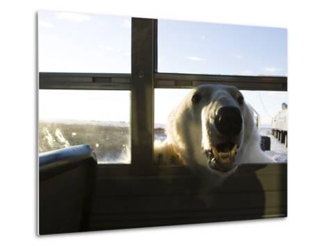 Polar Bear (Ursus Maritimus), Churchill, Hudson Bay, Manitoba, Canada-Thorsten Milse-Metal Print