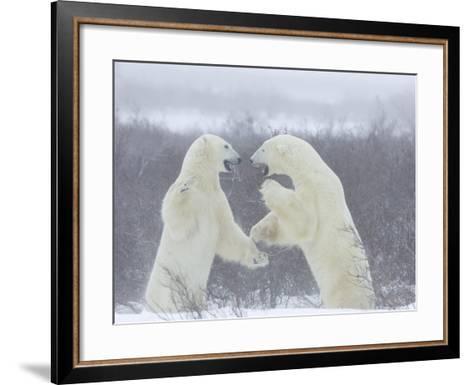 Polar Bears (Ursus Maritimus), Churchill, Hudson Bay, Manitoba, Canada-Thorsten Milse-Framed Art Print
