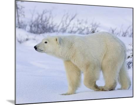 Polar Bear (Ursus Maritimus), Churchill, Hudson Bay, Manitoba, Canada-Thorsten Milse-Mounted Photographic Print