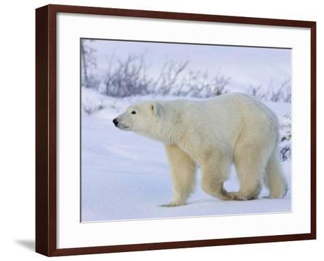 Polar Bear (Ursus Maritimus), Churchill, Hudson Bay, Manitoba, Canada-Thorsten Milse-Framed Art Print