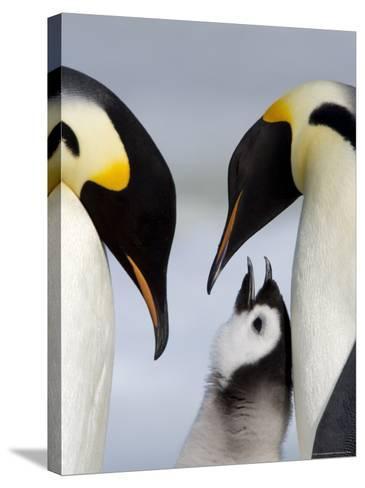 Emperor Penguins (Aptenodytes Forsteri) and Chick, Snow Hill Island, Weddell Sea, Antarctica-Thorsten Milse-Stretched Canvas Print