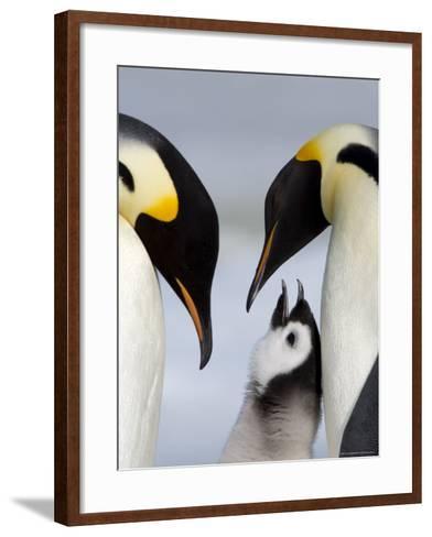Emperor Penguins (Aptenodytes Forsteri) and Chick, Snow Hill Island, Weddell Sea, Antarctica-Thorsten Milse-Framed Art Print