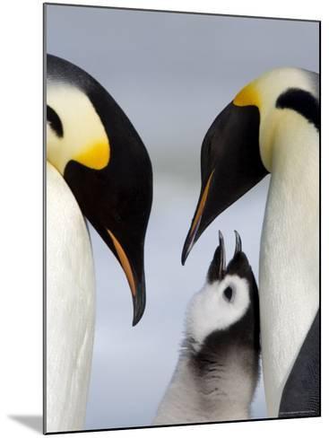 Emperor Penguins (Aptenodytes Forsteri) and Chick, Snow Hill Island, Weddell Sea, Antarctica-Thorsten Milse-Mounted Photographic Print