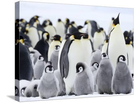 Emperor Penguins (Aptenodytes Forsteri) and Chicks, Snow Hill Island, Weddell Sea, Antarctica-Thorsten Milse-Stretched Canvas Print