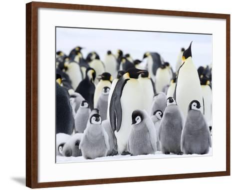 Emperor Penguins (Aptenodytes Forsteri) and Chicks, Snow Hill Island, Weddell Sea, Antarctica-Thorsten Milse-Framed Art Print