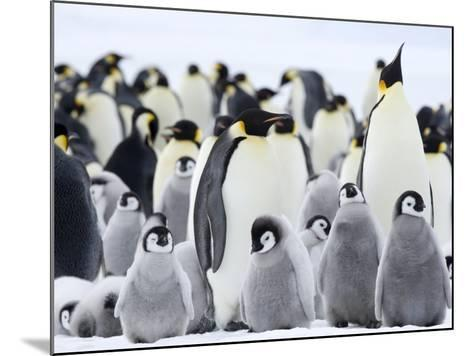 Emperor Penguins (Aptenodytes Forsteri) and Chicks, Snow Hill Island, Weddell Sea, Antarctica-Thorsten Milse-Mounted Photographic Print