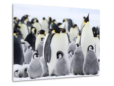 Emperor Penguins (Aptenodytes Forsteri) and Chicks, Snow Hill Island, Weddell Sea, Antarctica-Thorsten Milse-Metal Print