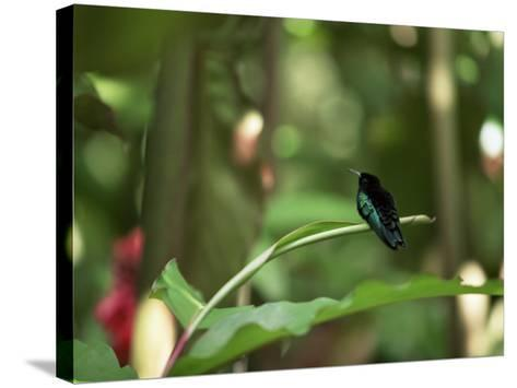 Colibri Humming Bird, Martinique, Lesser Antilles, West Indies, Caribbean, Central America-Yadid Levy-Stretched Canvas Print