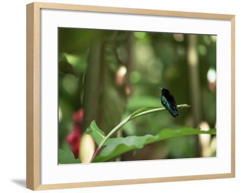 Colibri Humming Bird, Martinique, Lesser Antilles, West Indies, Caribbean, Central America-Yadid Levy-Framed Art Print