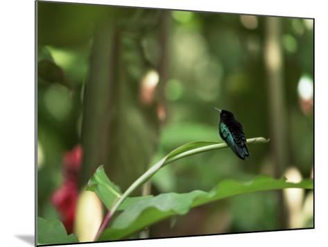 Colibri Humming Bird, Martinique, Lesser Antilles, West Indies, Caribbean, Central America-Yadid Levy-Mounted Photographic Print