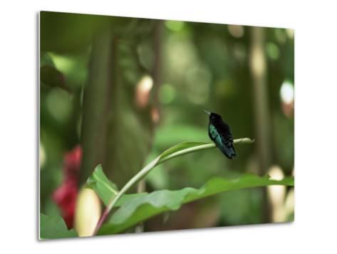 Colibri Humming Bird, Martinique, Lesser Antilles, West Indies, Caribbean, Central America-Yadid Levy-Metal Print