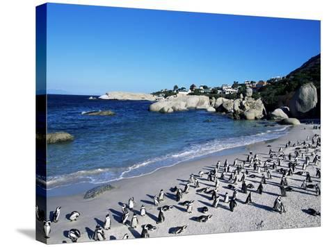 African Penguins at Boulder Beach in Simon's Town, Near Cape Town, South Africa, Africa-Yadid Levy-Stretched Canvas Print