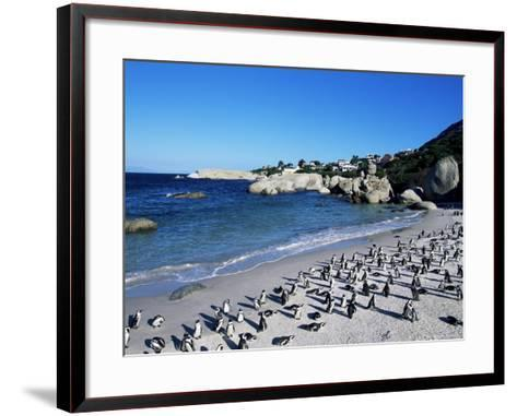 African Penguins at Boulder Beach in Simon's Town, Near Cape Town, South Africa, Africa-Yadid Levy-Framed Art Print