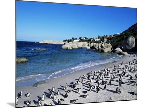 African Penguins at Boulder Beach in Simon's Town, Near Cape Town, South Africa, Africa-Yadid Levy-Mounted Photographic Print
