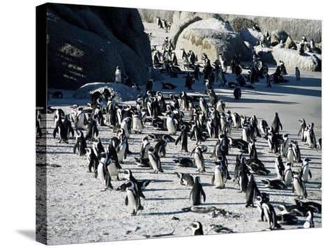 Penguins at Boulder Beach in Simon's Town, Near Cape Town, South Africa, Africa-Yadid Levy-Stretched Canvas Print