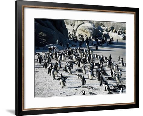Penguins at Boulder Beach in Simon's Town, Near Cape Town, South Africa, Africa-Yadid Levy-Framed Art Print