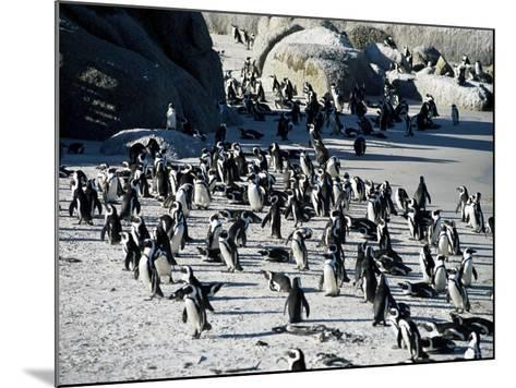 Penguins at Boulder Beach in Simon's Town, Near Cape Town, South Africa, Africa-Yadid Levy-Mounted Photographic Print