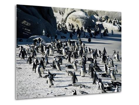 Penguins at Boulder Beach in Simon's Town, Near Cape Town, South Africa, Africa-Yadid Levy-Metal Print