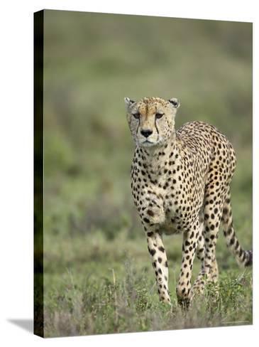 Cheetah (Acinonyx Jubatus) Walking Towards Viewer, Serengeti National Park, Tanzania-James Hager-Stretched Canvas Print