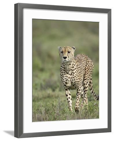 Cheetah (Acinonyx Jubatus) Walking Towards Viewer, Serengeti National Park, Tanzania-James Hager-Framed Art Print