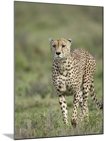 Cheetah (Acinonyx Jubatus) Walking Towards Viewer, Serengeti National Park, Tanzania-James Hager-Mounted Photographic Print