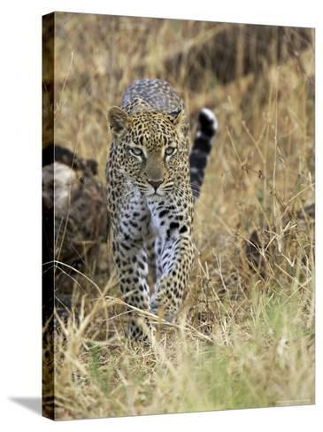 Leopard (Panthera Pardus) Approaching, Samburu Game Reserve, Kenya, East Africa, Africa-James Hager-Stretched Canvas Print